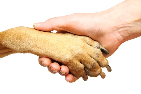 Dog paw and human hand doing handshake. Isolated over white. photo