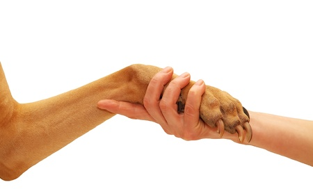 Dog paw and human hand doing handshake. Isolated over white. photo