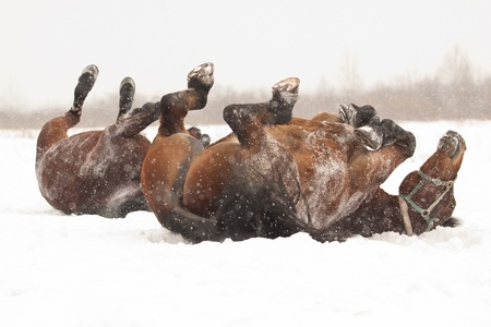 Two dark bay horses rolling on snow