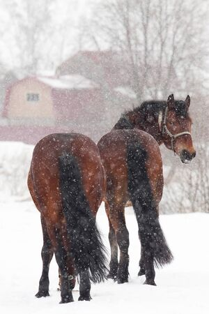 Two dark bay horses on snowy meadow photo
