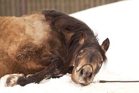 dun: Dun stallion rolling on snow