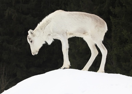 Baby deer (Rangifer tarandus) on snowy meadow Stock Photo - 12956722