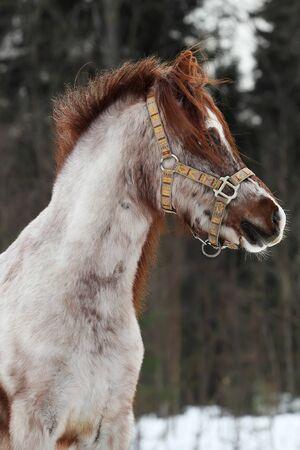 Portrait of beautiful Welsh pony mare photo