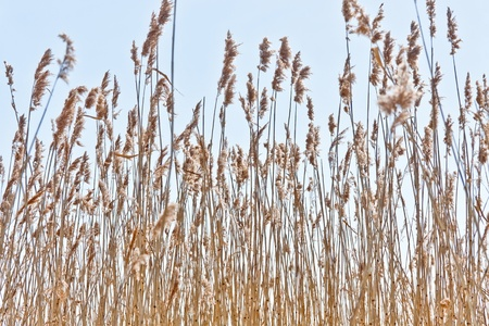 Dry reeds and spring blue sky photo
