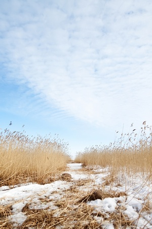 Dry reeds on the shore of Ladoga lake, Russia  photo