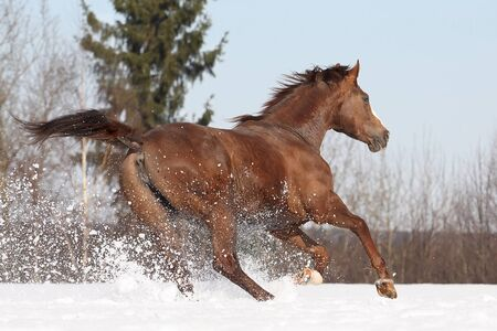 Hannover mare running on snowy meadow