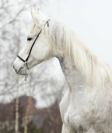 Portrait of beautiful hannover mare photo