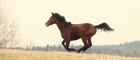 trakehner: Young Trakehner stallion running on the meadow