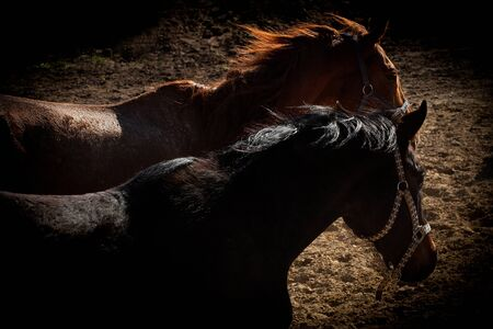 trakehner: Two Trakehner foals, red and black