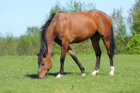 Bay horse in the summer meadow photo