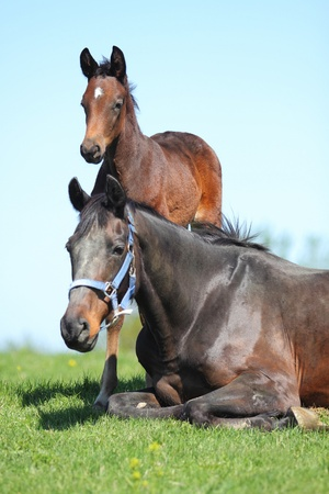 Mare and foal in the summer meadow photo