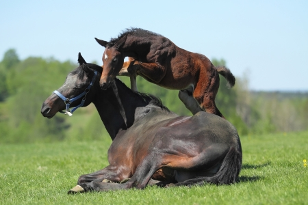 Little foal playing with her mother Stock Photo