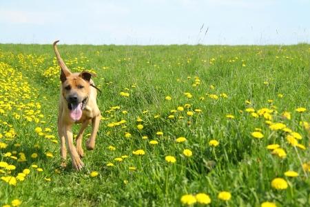 Red Dog dans la prairie avec des pissenlits fleurissent