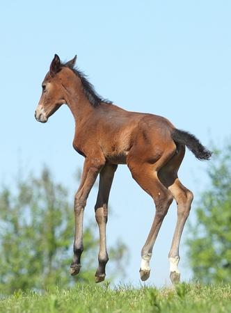 newborn animal: Little foal jumps in the meadow