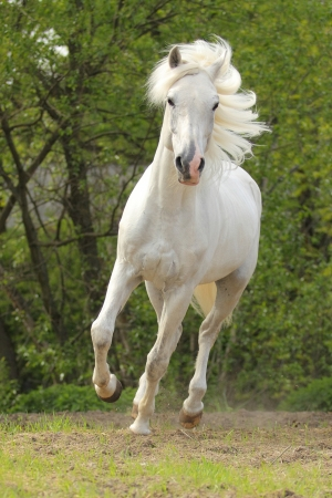 The Orlov trotter named Kunzhut - prize winner of the St. Petersburg International Horse Exhibition