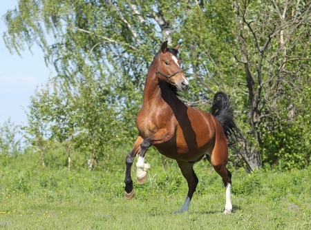 horse chestnuts: Dark bay horse dance in the meadow