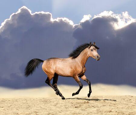 Young buckskin stallion gallops through the dusty meadow photo
