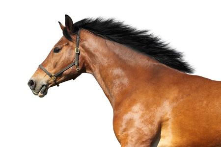 cabeza de caballo: Vista lateral de un caballo castaño. Aislado en blanco. Foto de archivo