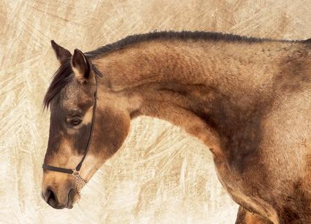 Portrait of a beautiful buckskin stallion