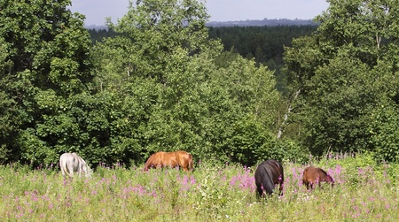 Herd of horses in the summer meadow photo