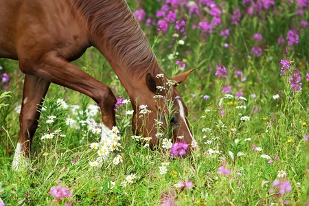 Young horse of Don breed in the summer meadow