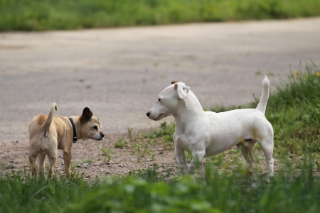 Meeting of two funny small dogs