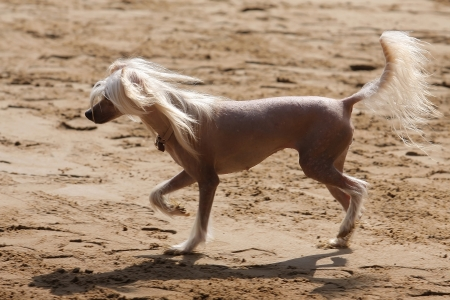 Chinese crested dog runs on the sand