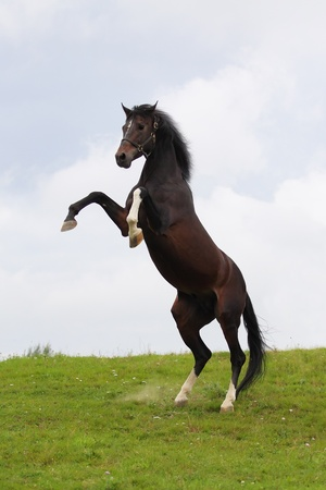 Beautiful bay stallion standing in the meadow Archivio Fotografico