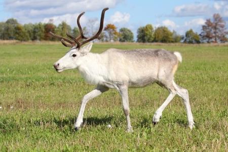 Female reindeer  Rangifer tarandus  outdoors Stock Photo - 15479458