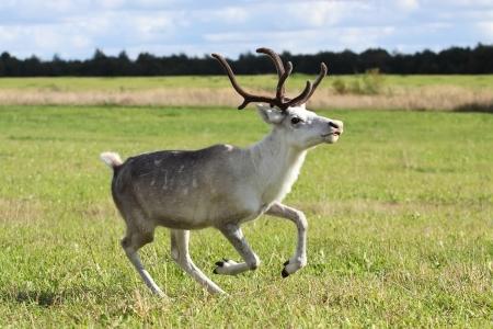 Female reindeer  Rangifer tarandus  outdoors