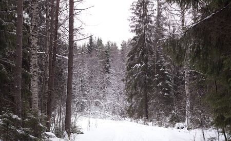 Panoramic shot of the gloomy winter forest photo