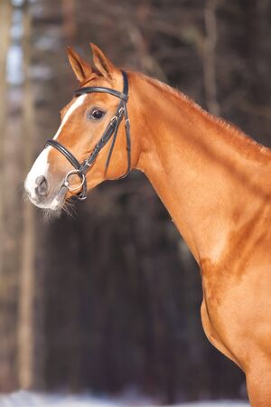 Portrait of a beautiful Russian Don horse