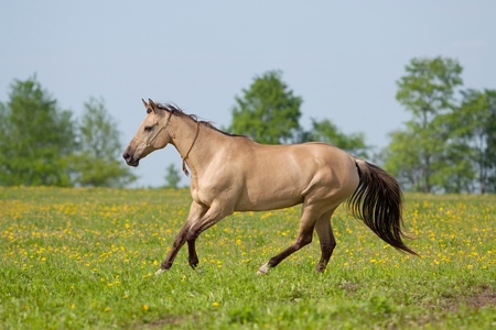 halter: Akhal Teke mare galloping in the meadow