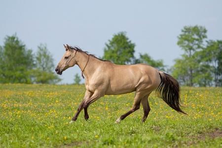 akhal teke: Akhal Teke mare galloping in the meadow