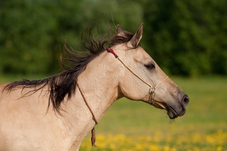 Portrait of a beautiful Akhal-Teke horse photo