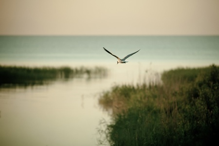 ladoga: Lone seagull flying over the lake