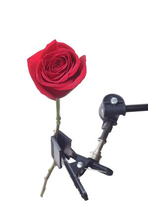 tripod mounted: Red rose mounted on tripod, isolated on white background