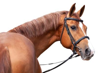 Russische Don paard, geïsoleerd op witte achtergrond Stockfoto