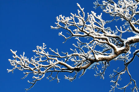 Tree branches in a snowy winter