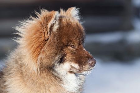 in herding: Nenets reindeer herding Husky portrait