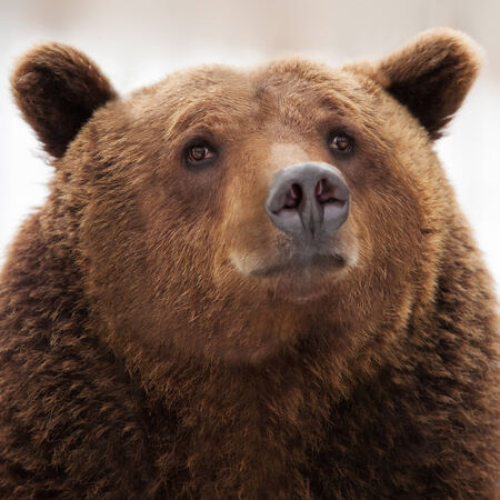 Portrait of brown bear (Ursus arctos)  photo