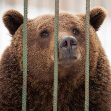 insidious: Brown bear (Ursus arctos) in cage Stock Photo