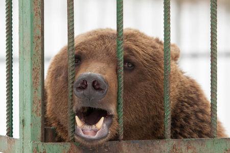 arctos: Orso bruno (Ursus arctos) in gabbia