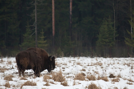 insidious: Hybrid buffalo and bison (Bison bison and Bison bonasus) in Russia
