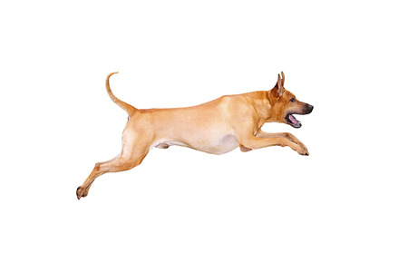 Red dog jumping, isolated on white background