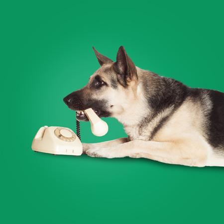Alsatian dog holding handset in his teeth. photo