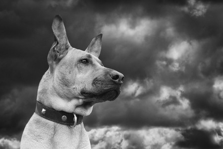 vigilant: Red dog wearing collar against dark sky. Black and white photo. Stock Photo