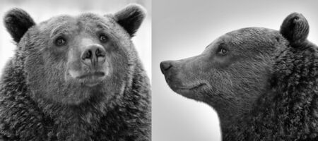remand: Two portraits of brown bear (Ursus arctos) Stock Photo