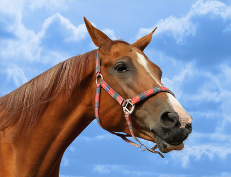 Young beautiful red mare against blue sky photo