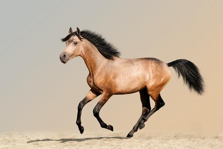 Beautiful buckskin foal running on sandy soil Reklamní fotografie